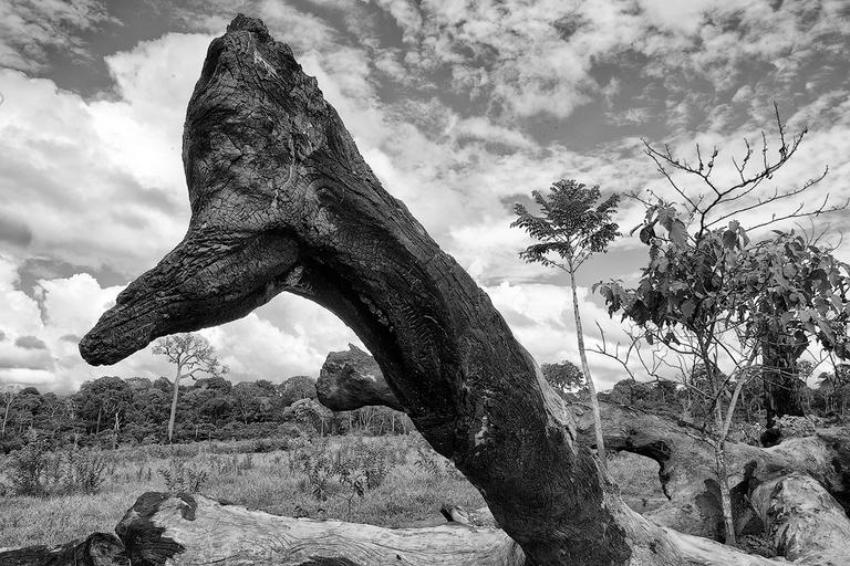 L'albero della noce brasiliana non brucia totalmente
