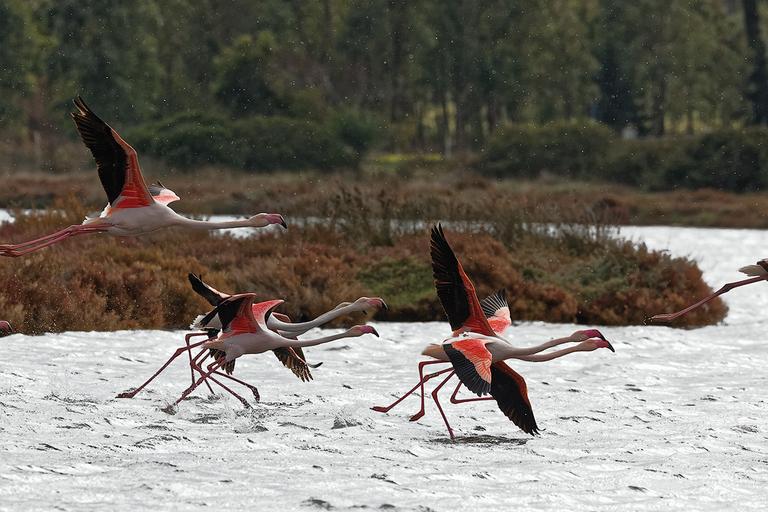 Rincorsa e decollo del fenicottero rosa